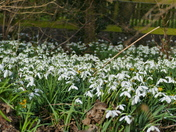 CARPET OF SNOWDROPS AT SHEREFORD