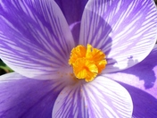 CROCUS IN THE SUN AT HEMPTON