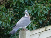 PROJ 52, SIGNS OF SPRING.   PIGEON COLLECTING NESTING MATERIAL