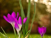 Crocuses In Bloom