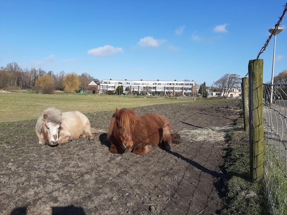 Pony's lekker in 't zonnetje