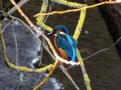 Kingfisher along the Wensum in Norwich