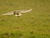 Hunting Barn Owl Hemingstone