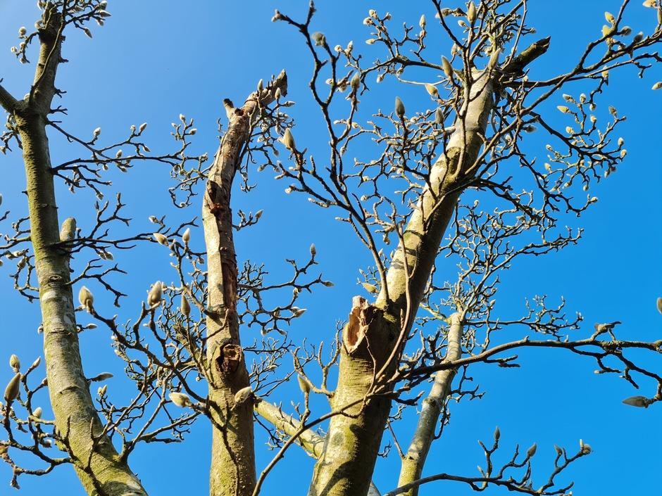 Knalblauwe lucht knoppen magnolia