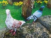 Pigeon Parade