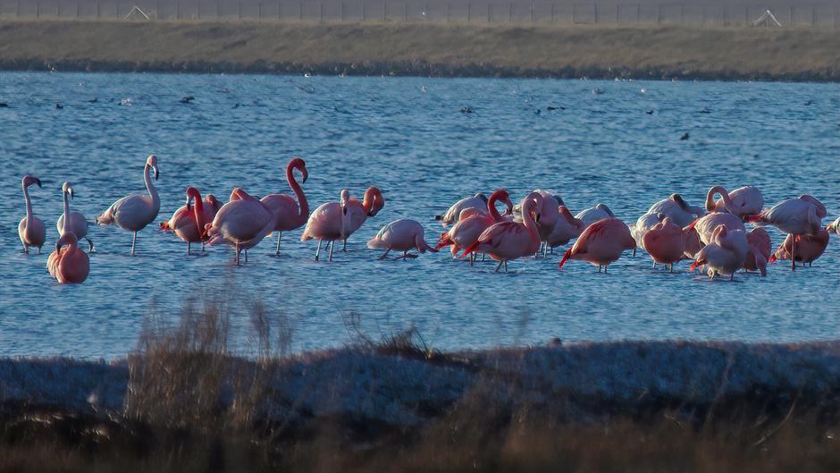 Flamingo's bij het haventje van Battenoord