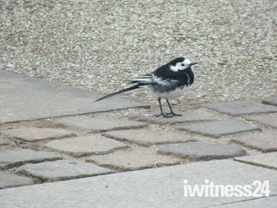 A wagtail