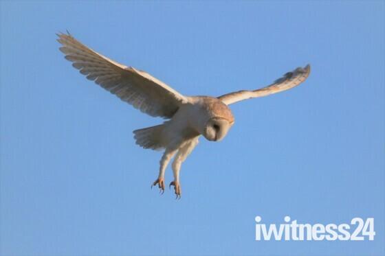 barney owl