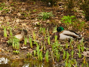 MALLARDS PAIRING UP  AT SCULTHORPE