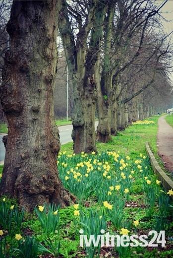 Spring Daffodils on Drayton Road