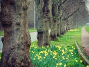 Spring Daffodils on Drayton Road