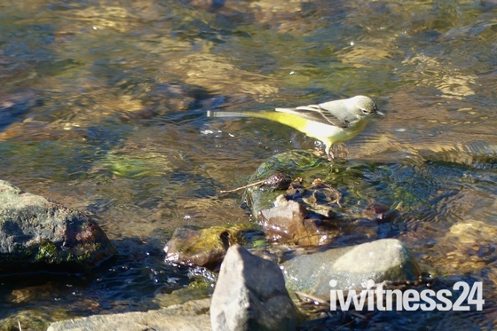 Grey Wagtails