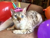 Snow bengal Bengie in his birthday hat