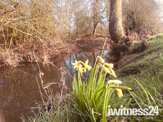 Daffodils by a stream Great Bealings