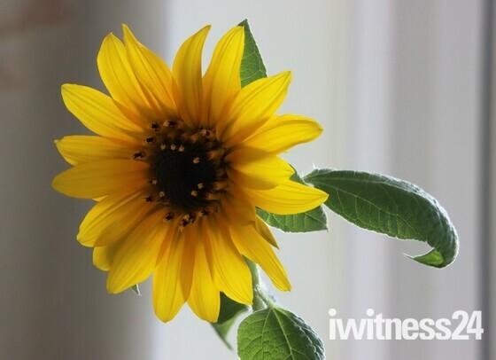 Indoor sunflower