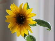 Indoor sunflower