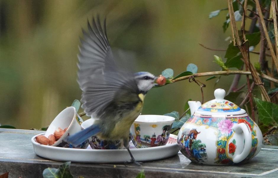Pimpelmees op nootjes-thee bezoek