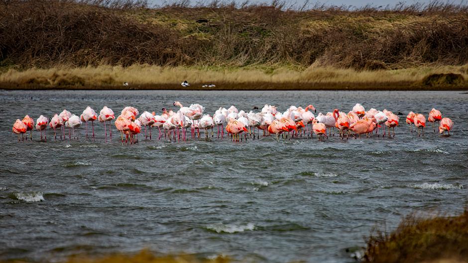 De wilde flamingo's uit de wind