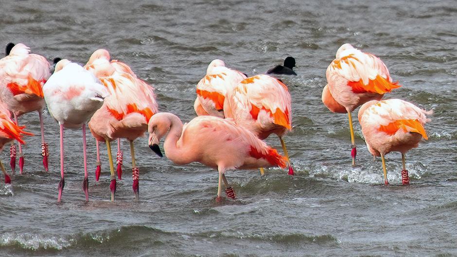 Wilde flamingo's in de luwte van de storm