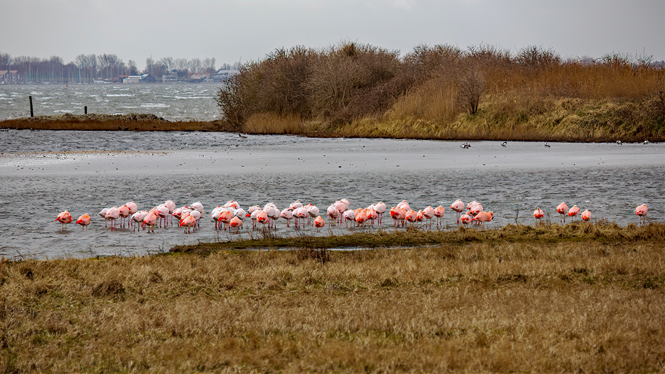 Wilde flamingo's in de luwte