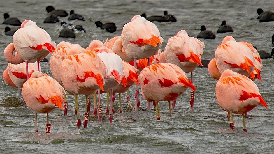 Flamingo billen