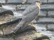 Sparrowhawk; a rare visitor to our neighbourhood