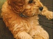 Chole the Cavapoo