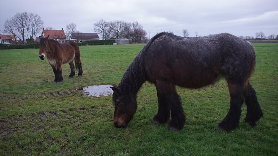 grijs en bewolkt 4 gr weinig wind paarden in de wei