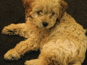 Meet Chole the Cavapoo