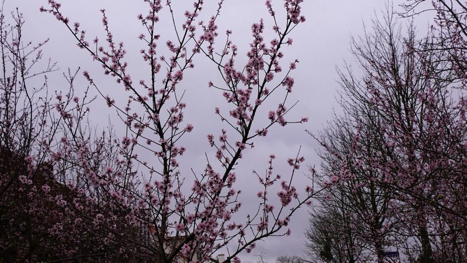 grijs weer en roze bloesem aan de bomen 6 gr lente !