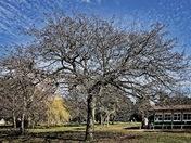 Youthful Oak…