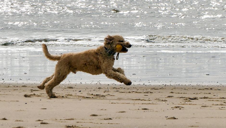 Heerlijk rennen voor de honden op strand