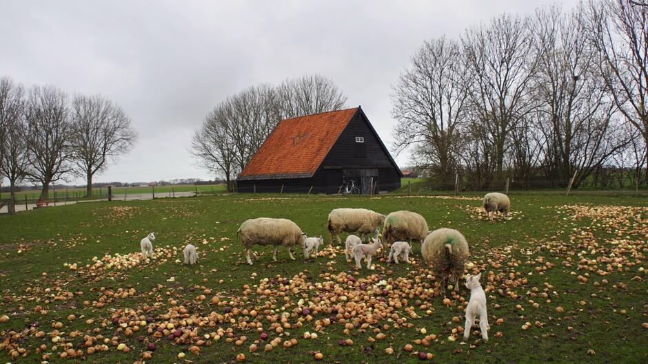 grijs weer in de wei met veel lammetjes en uien voor de schapen 7 gr
