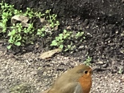 Little Robin just wanted to say hello, what a friendly bird who just got closer for each picture