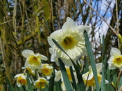 DAFFS IN THE SUNSHINE  AT SHEREFORD