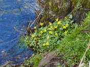 FLOWERS ON THE RIVER BANK  AT SHEREFORD
