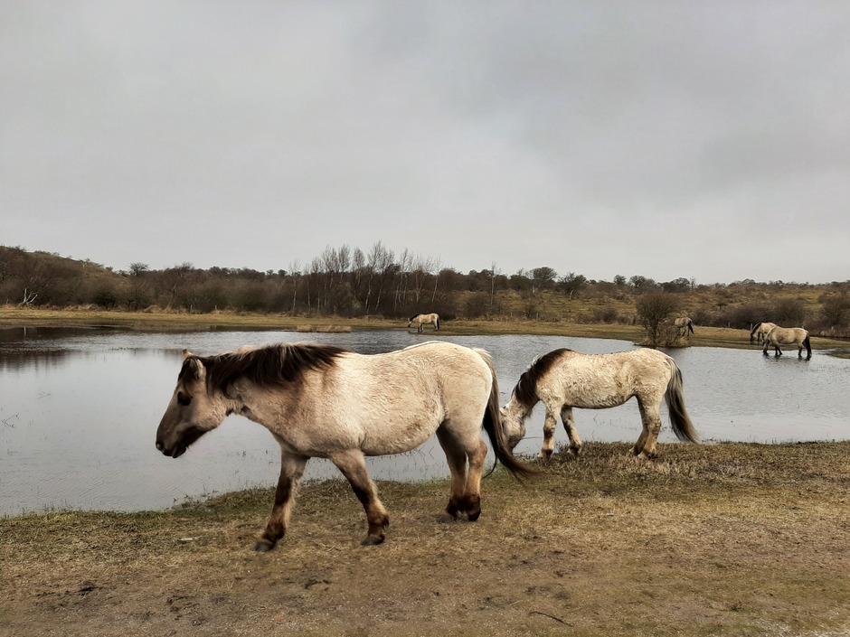 Wilde paarden in de duinen