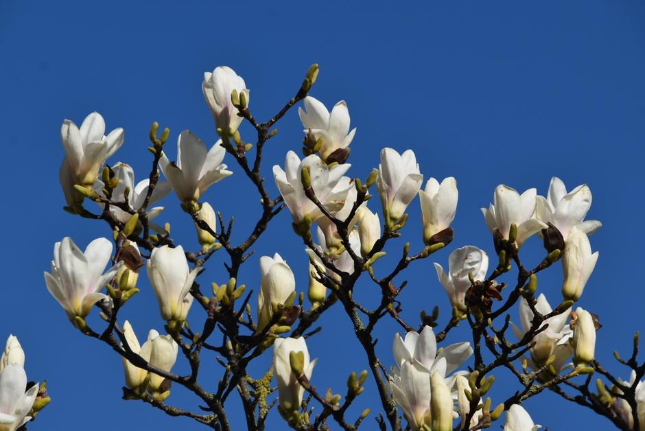 Tulpenbloemen