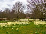 Daffodils at Markwells Farm, Stutton