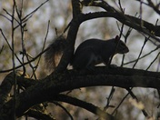 Silhouetted Squirrel