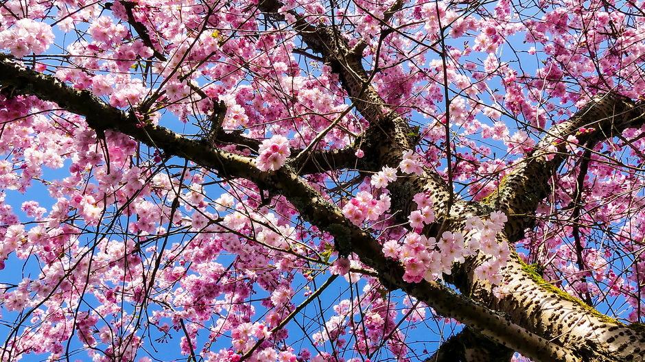 Zon staalblauw en roze lentebloesem