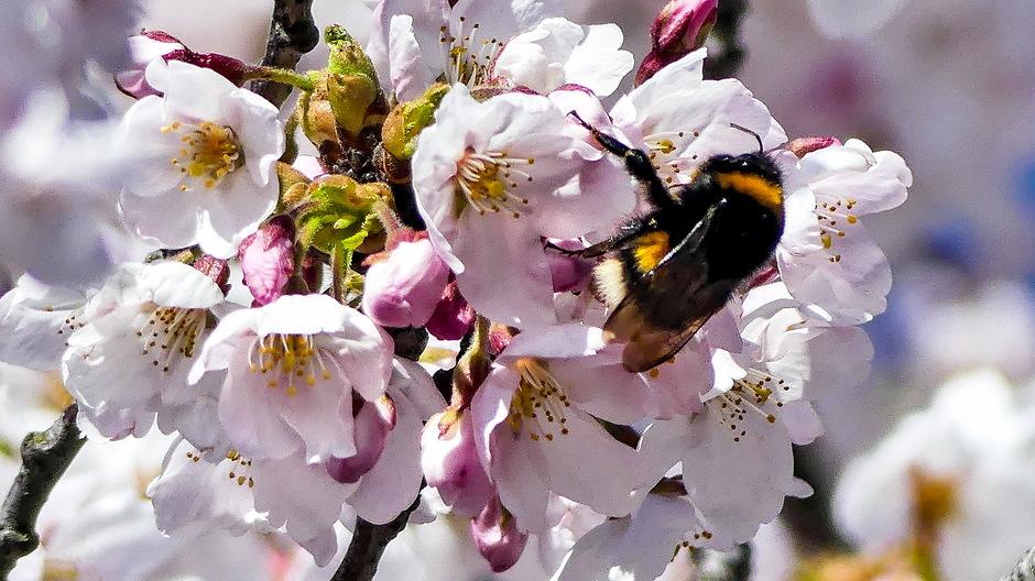 Bijen en hommeldrukte  in de bloesems