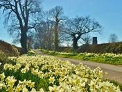 Honing Daffodils