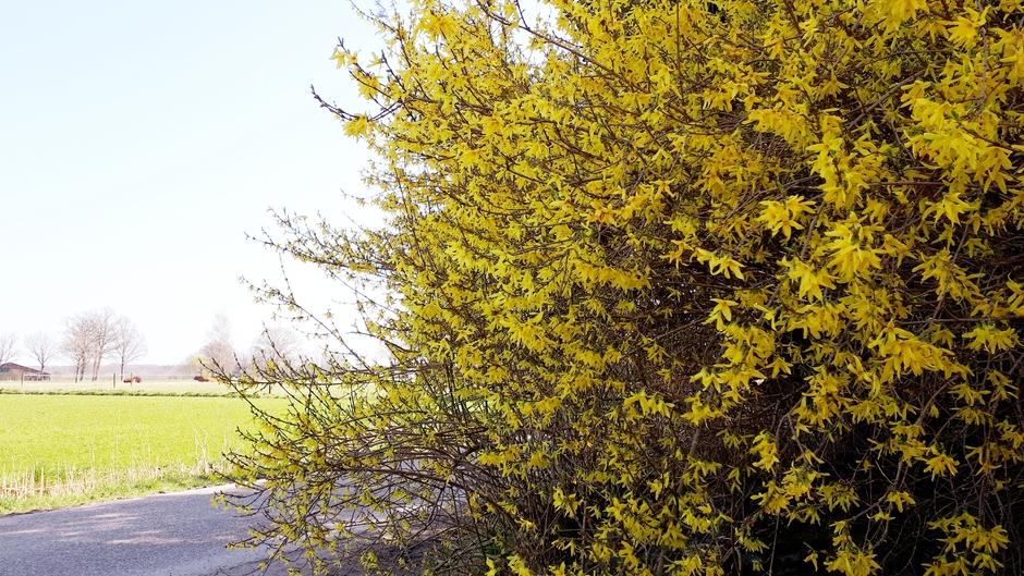 Forsythia volop in bloei op deze zonovergoten lentedag