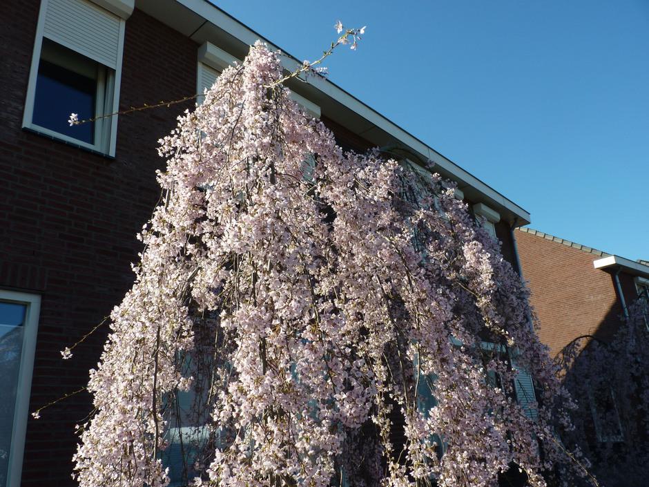 Heerlijk al die lentebloeiers bij dit weer.