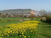 Peak Hill Daffodils