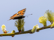 Tortoiseshell Butterfly on thw Willow