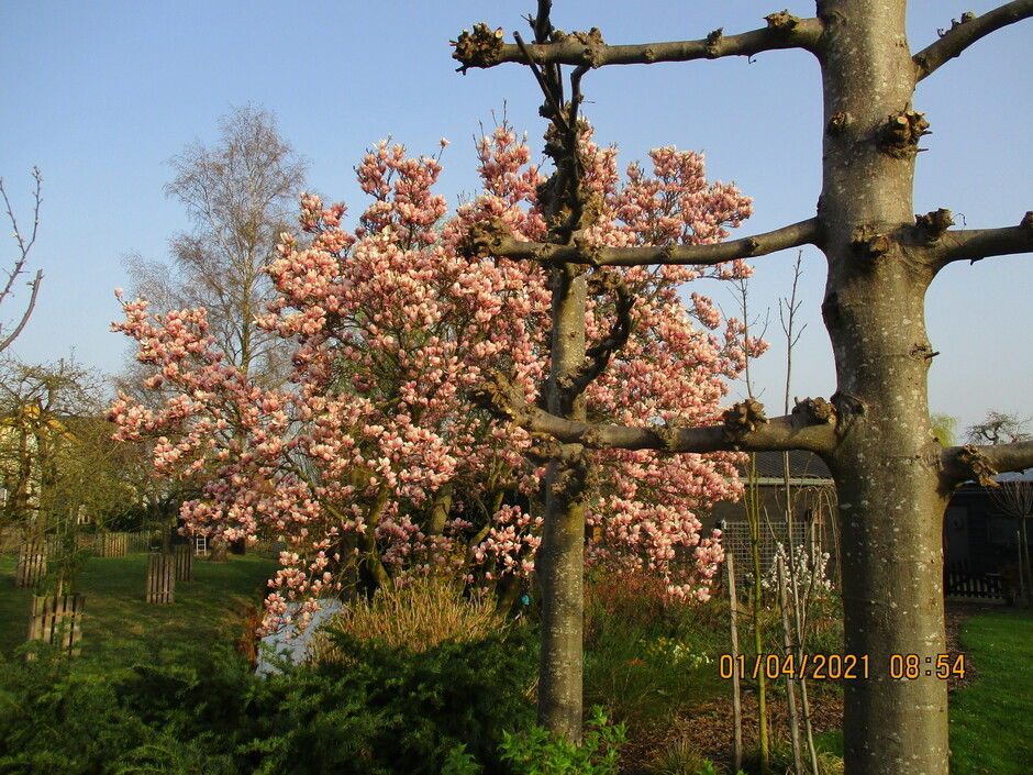 Het blijft een pracht gezicht de Tulpenbomen