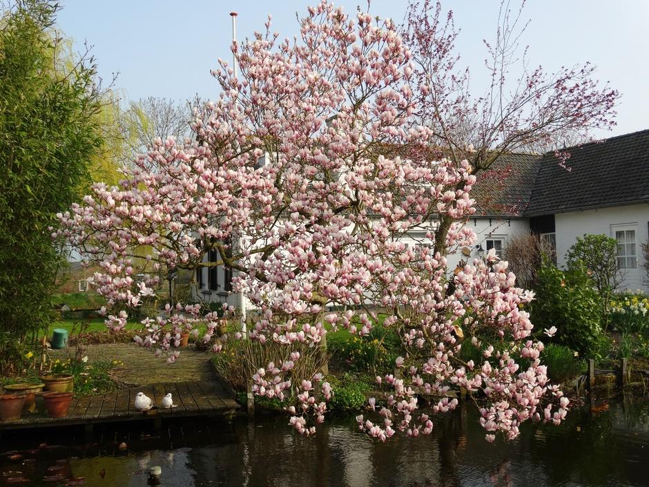 Magnoliaboom in  bloei