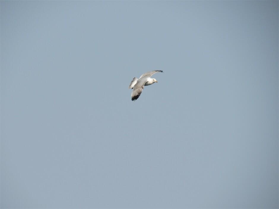 Meeuw in vlucht boven de visafslag in Colijnsplaat op zoek naar een visje